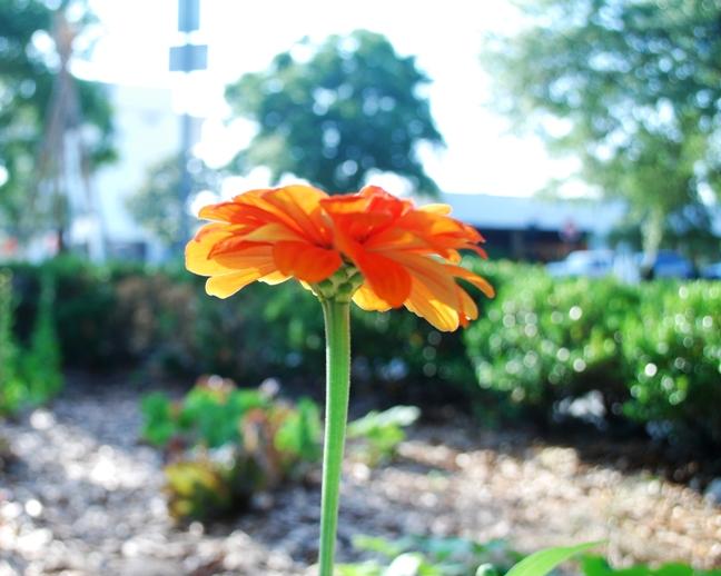 May zinnia