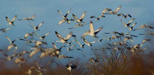 Sandhill_cranes_paynes_prairie_anthony_rue_creative_commons_500x244